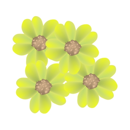 asteraceae: Beautiful Flower, Illustration of Beautiful Yellow Yarrow Flowers or Achillea Millefolium Flowers with Green Leaves Isolated on White Background. Illustration