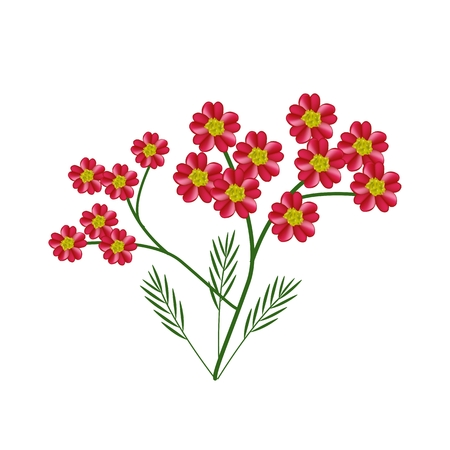 millefolium: Beautiful Flower, Illustration of Red Yarrow Flowers or Achillea Millefolium Flowers Isolated on White Background.