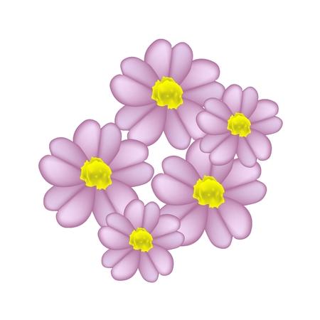 asteraceae: Beautiful Flower, Illustration of Fresh Pink Yarrow Flowers or Achillea Millefolium Flowers Isolated on White Background.