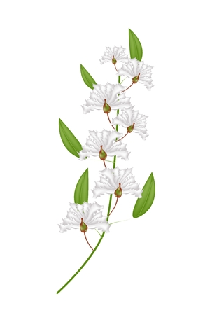 fistula: Beautiful Flower, Illustration Bunch of White Crape Myrtle Flowers or Lagerstroemia Indica Flowers Isolated on White Background Illustration