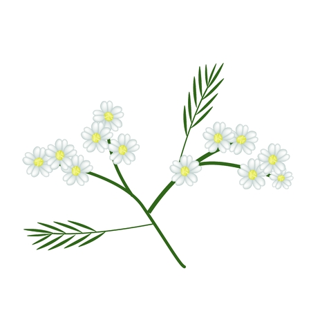 lush foliage: Beautiful Flower, Illustration of White Yarrow Flowers with Green Leaves Isolated on White Background.
