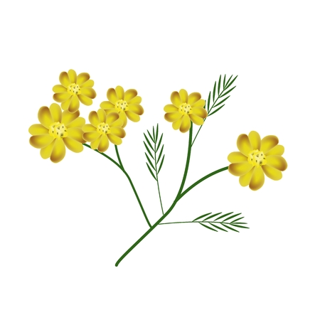 milfoil: Beautiful Flower, Illustration of Yellow Yarrow Flowers or Achillea Millefolium Flowers with Green Leaves Isolated on White Background.