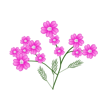 millefolium: Beautiful Flower, Illustration of Pink Yarrow Flowers or Achillea Millefolium Flowers with Green Leaves Isolated on White Background. Illustration