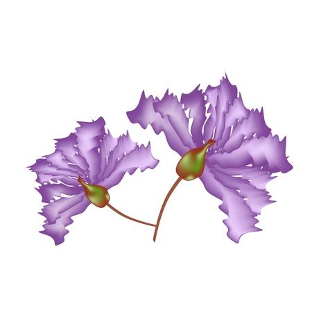fistula: Beautiful Flower, Illustration Purple Crape Myrtle Flowers or Lagerstroemia Indica Flowers Isolated on White Background