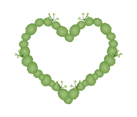 asiatic: Love Concept, Illustration of Asiatic Pennywort or Hydrocotyle Umbellata Plants Forming in A Heart Shape Isolated on White Background.