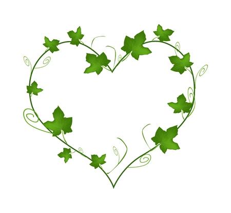 Miłość Pojęcie, Ilustracja kształcie serca rama wykonana z świeżych zielonych liści bluszczu winorośli wyizolowanych na białym tle.