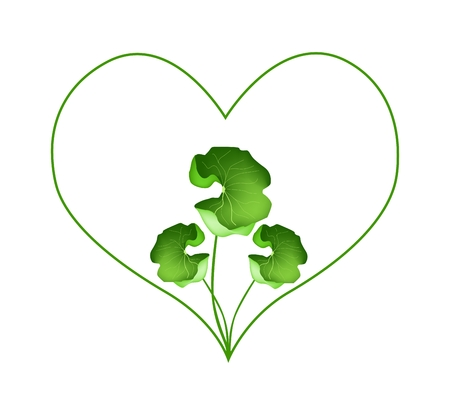 asiatic: Love Concept, Illustration of Heart Shape Frame in Fresh Asiatic Pennywort Plants Isolated on White Background.