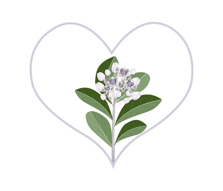 milkweed: Love Concept, Illustration of Purple Calotropis Gigantea Flowers or Crown Flowers Forming in Heart Shape Isolated on White Background.