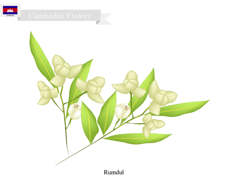 annonaceae: Cambodia Flower, Illustration of Rumdul Flowers or Mitrella Mesnyi Flowers. The National Flower of Cambodia. Illustration