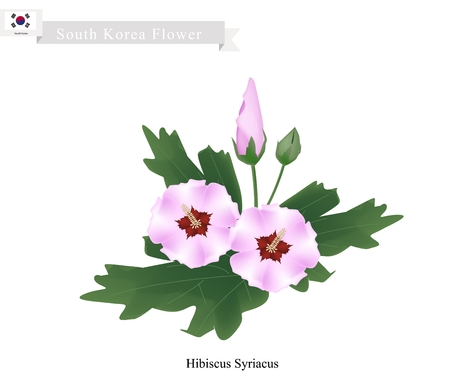 rosemallow: South Korea Flower, Illustration of Rose of Sharon Flowers or Hibiscus Syriacus Flowers. The National Flower of South Korea.