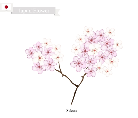 national fruit of china: Japan Flower, Illustration of Sakura, Cherry Blossom or Japanese Cherry. The National Flower of Japan. Illustration