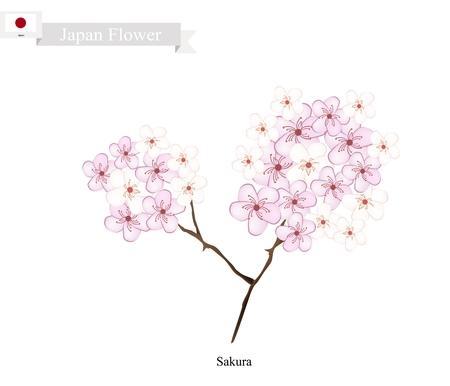 national fruit of china: Japan Flower, Illustration of Sakura, Cherry Blossom or Japanese Cherry. The National Flower of Japan. Illustration