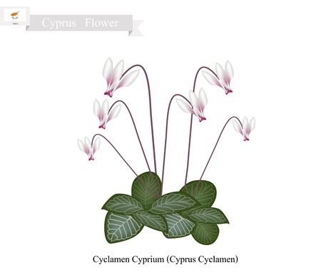 cyclamen: Cyprus Flower, Illustration of Cyclamen Cyprium Flowers or Cyprus Cyclamen Flowers. One of The Most Popular Flower in Cyprus. Illustration