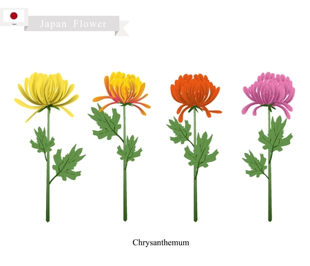 Japan Flower, Illustration of Chrysanthemum Flowers. A Symbol of The Emperor and The Imperial Family of Japan.