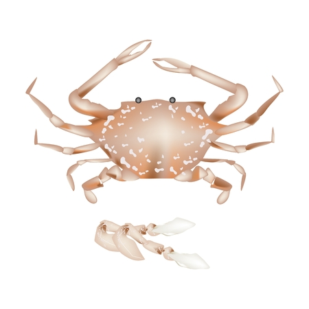 crab legs: Cuisine and Food, Illustration of Steamed Blue Crab with Legs Isolated on A White Background.