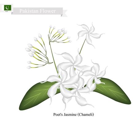 Pakistan Flower, Illustration of Poets Jasmine or Chameli Flowers. The National Flower of Pakistan. Illustration