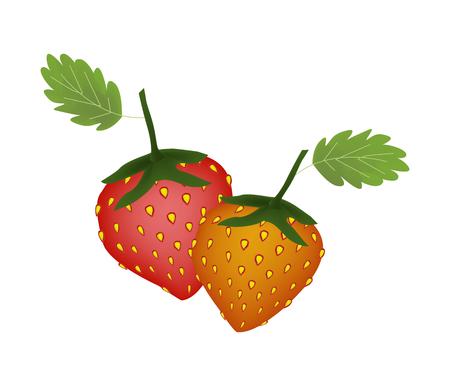ripe: Fruit, Ripe and Sweet Strawberry Isolated on White Background. Illustration
