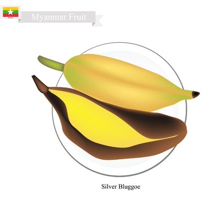 burmese: Myanmar Fruit, Illustration of Silver Bluggoe Bananas. One of The Most Popular Fruits in Myanmar.