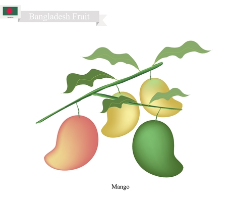 thai dessert: Bangladesh Fruit, Illustration of Ripe and Raw Mangoes. One of The Most Popular Fruits in Bangladesh. Illustration