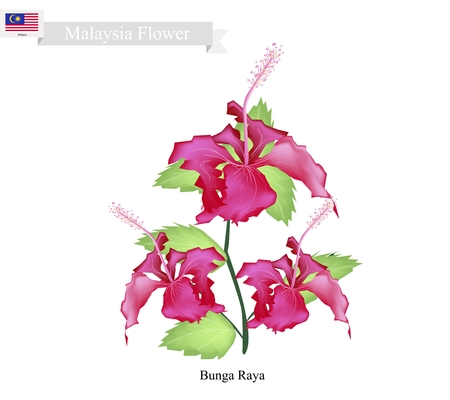 timor: Malaysia Flower, Illustration of Bunga Raya or Hibiscus Flowers. The National Flower of Malaysia.