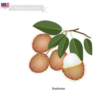 rambutan: Malaysia Fruit, Illustration of Ripe Rambutan. One of The Most Popular Fruits in Malaysia. Illustration