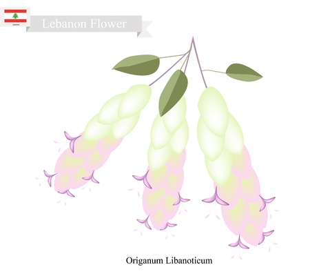origanum: Lebanon Flower, Illustration of Origanum Libanoticum Flowers. One of The Most Popular Flower in Lebanon.