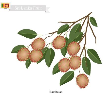 rambutan: Sri Lanka Fruit, Illustration of Ripe Rambutan. One of The Most Popular Fruits in Sri Lanka.