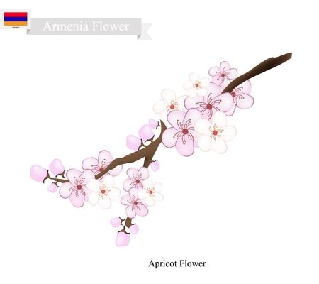 japanese apricot: Armenia Flower, Illustration of Apricot Flower. One of Most Popular Flower in Armenia.
