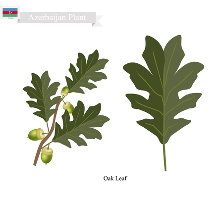 oak leaf: Azerbaijan Plant, Green Oak Leaf. One of Two Plants on National Emblem of Azerbaijan.