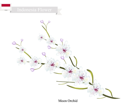 thai orchid: Indonesia Flower, Illustration of Moon Orchids Flowers. The Flower of Charm of Indonesia.