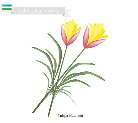 tulipa: Uzbekistan Flower, Illustration of Tulipa Batalinii Flowers or Bright Gem Flowers. One of The Most Popular Flower of Uzbekistan. Illustration