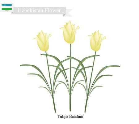 tulipa: Uzbekistan Flower, Illustration of Tulipa Batalinii Flowers or Bright Gem Flower. One of The Most Popular Flower of Uzbekistan.