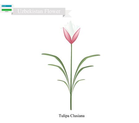 tulipa: Uzbekistan Flower, Illustration of Tulipa Clusiana Flowers or Bright Gem Flowers. One of The Most Popular Flower of Uzbekistan. Illustration