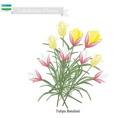 surgery expenses: Uzbekistan Flower, Illustration of Yellow Tulipa Batalinii Flowers or Bright Gem Flowers. One of The Most Popular Flower of Uzbekistan.