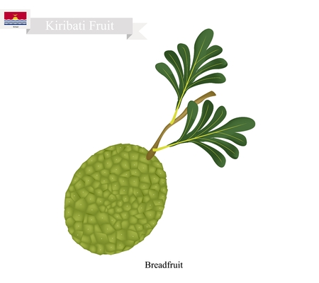 Kiribati Fruit, Ripe and Sweet Breadfruit. One of The Most Popular Fruits of Kiribati.