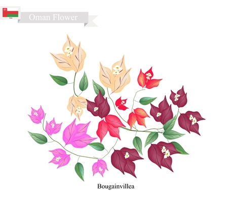 bougainvillea: Illustration of Bougainvillea Flowers or Paper Flowers. One of The Most Popular Flower in Oman.