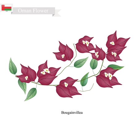 bougainvillea: Illustration of Red Bougainvillea Flowers or Paper Flowers. One of The Most Popular Flower in Oman.