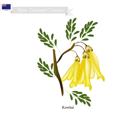 New Zealand Flower, Illustration of Kowhai Flowers. The National Flower of New Zealand.