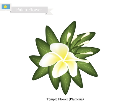 tonga: Palau Blossom, Illustration of Temple Flower or Plumeria Frangipanis. One of The Most Popular Flower in Palau.