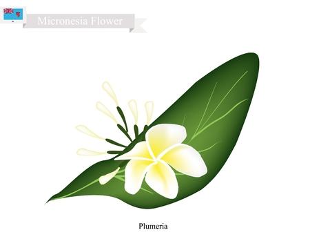 Micronesia Flower, Illustration of Plumeria Frangipanis Flowers. The National Flower of Micronesia.