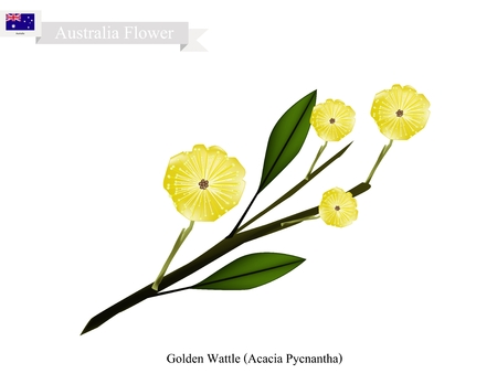 Australia Flower, Illustration of Golden Wattle Flowers or Acacia Pycnantha Blossom. The National Flower of Australia.