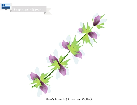 Greece Flower, Illustration of Bears Breech or Acanthus Mollis Flowers. The National Flower of Greece.