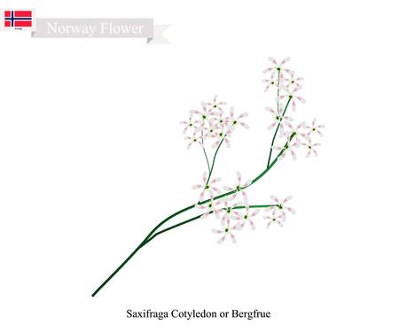 Norwegian Flower, Illustration of Saxifraga Cotyledon, Pyramidal Saxifrage or Bergfrue. The Native Flower of Norway.
