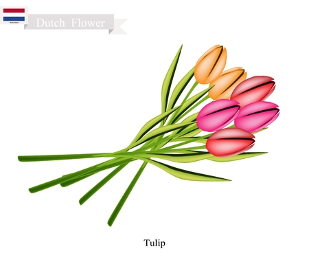 Dutch Flower, Illustration of Tulip or Tulipa Flowers. The National Flower of Netherlands.