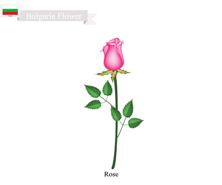 Bulgarian Flower, Illustration of Rose Flowers. The National Flower of Bulgaria. Illustration