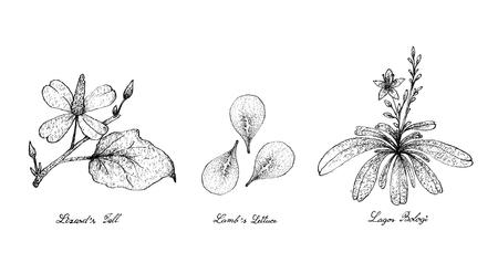 Salade de légumes, Illustration de croquis dessinés à la main Délicieuse queue de lézard vert frais, plantes de laitue et Lagos Bologi isolées sur fond blanc.