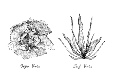 Vegetable Salad, Illustration of Hand Drawn Sketch Delicious Fresh Green Curly andijvie en Belgische andijvie geïsoleerd op een witte achtergrond.
