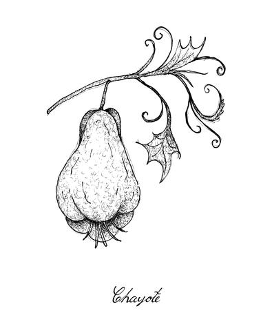 야채, 손으로 그린 스케치의 그림 맛있는 신선한 Chayote 또는 Sechium Edule 과일 플랜트 및 잎에 격리 된 흰색 배경.