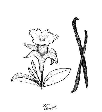 Illustration of Hand Drawn Sketch Fragrant Vanilla Flower and Pods Isolated on White Background. Illustration