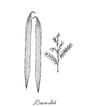 Vegetable and Herb, Illustration of Hand Drawn Sketch Fresh Drumstick or Moringa Leaves and Fruits.